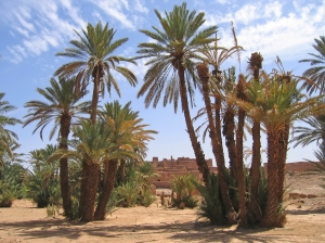 Desert oasis with palm trees - Zagora - Draa valley - Morocco